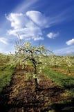 De appelboomgaarden van de bloesem Royalty-vrije Stock Foto's