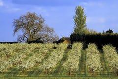 De appelboomgaarden van de bloesem Stock Foto's