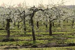 De appelboomgaarden van de bloesem Royalty-vrije Stock Foto