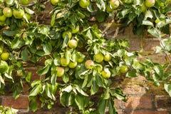 De appelen die op rijpen espaliered appelboom stock afbeelding