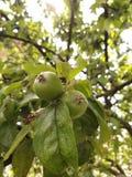 De appelen royalty-vrije stock afbeeldingen