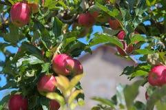 De appelen op boom sluiten omhoog Royalty-vrije Stock Foto's