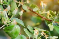 De appelen van de babyeierstok Het concept het tuinieren, DIY, fruitteelt zonder GMO, naturalness en nut royalty-vrije stock fotografie