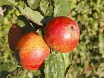 De appelen van de herfst Stock Foto's