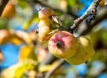 De Appelen van de herfst op een tak Royalty-vrije Stock Foto's