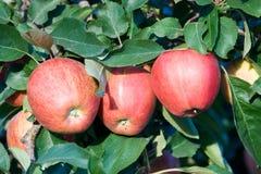 De appelen van het feest op de tak Stock Foto's