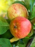 De appelen van het fruit op een boom Stock Foto's