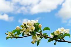 De appeltak van de bloesem. Stock Foto's