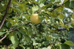 De Apple hängningarna på det Apple trädet royaltyfria bilder