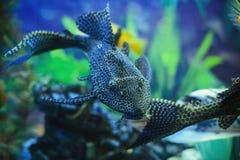 De aquariumkatvis zwemt, een comfortabel aquarium met algen en stenen stock foto's