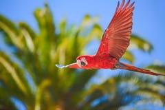 De ara in vrije vlucht in exotische vogels toont bij Palmitos-Park in Maspalomas, Gran Canaria, Spanje stock afbeelding
