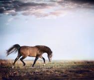 De Arabische lopende draf van het hengstpaard op de herfstweiland Stock Afbeeldingen