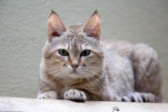 De Arabische wilde staking, Felis-silvestris Gordon, is een zeldzame ondersoort van wilde katten royalty-vrije stock afbeeldingen