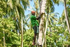 De arbeider beklimt op kokosnotenpalmen om kokosnoten en takken te verminderen stock fotografie