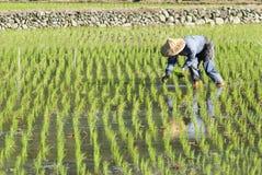 De arbeider die van het landbouwbedrijf op padiepadieveld plant. Stock Afbeeldingen