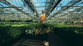 De arbeider duwt een karhoogtepunt van gele tulpen in een serre stock footage