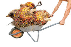 De arbeider duwt een karretje met palmolievruchten Stock Fotografie