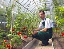 De arbeider oogst tomaten in de serre stock fotografie