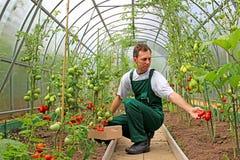 De arbeider oogst tomaten in de serre stock afbeelding