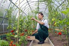 De arbeider oogst tomaten in de serre royalty-vrije stock fotografie