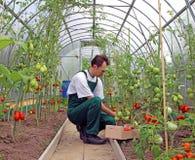 De arbeider oogst tomaten in de serre stock foto's