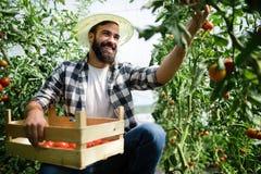 De arbeider oogst tomaten in de serre royalty-vrije stock foto's