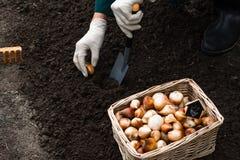 De arbeider plant tulpenbollen in de grond in het bloembed Royalty-vrije Stock Foto's