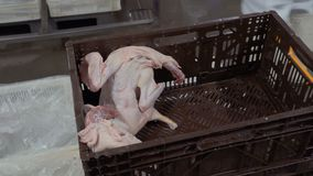 De arbeider van gevogeltelandbouwbedrijf neemt karkas van ruwe eend van plastic doos stock video