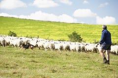 De Arbeider van het landbouwbedrijf met Troep van Schapen Stock Foto's