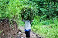 De arbeider van Vietnam in een rijstaanplantingen stock fotografie