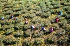 De Arbeiders Darjeeling van de theetuin stock fotografie