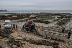 De arbeiders en een tractor op de kust van de Keltische Zee werken aan een oesterlandbouwbedrijf Overzees landbouwbedrijf royalty-vrije stock fotografie
