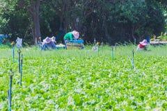 De arbeiders helpen om groenten op te nemen Stock Foto
