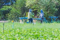De arbeiders helpen om groenten op te nemen Royalty-vrije Stock Afbeeldingen