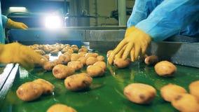 De arbeiders snijden aardappels die zich langs de vervoerder bewegen stock video