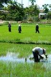 De arbeiders van de rijst Stock Foto's