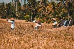 De arbeiders van het rijsttrio royalty-vrije stock foto's