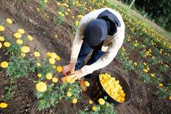 De arbeiders verzamelen goudsbloembloemen stock fotografie