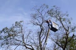 De arbeidersbesnoeiing, de gedroogde pruim en de boom van versieringsnarra vertakken zich met kettingzaag gebruikend telehandler  Stock Afbeelding