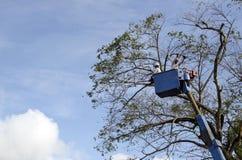 De arbeidersbesnoeiing, de gedroogde pruim en de boom van versieringsnarra vertakken zich met kettingzaag gebruikend telehandler  Royalty-vrije Stock Foto
