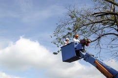 De arbeidersbesnoeiing, de gedroogde pruim en de boom van versieringsnarra vertakken zich met kettingzaag gebruikend telehandler  Royalty-vrije Stock Afbeeldingen