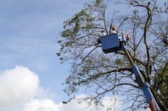 De arbeidersbesnoeiing, de gedroogde pruim en de boom van versieringsnarra vertakken zich met kettingzaag gebruikend telehandler  Stock Foto's