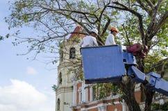 De arbeidersbesnoeiing, de gedroogde pruim en de boom van versieringsnarra vertakken zich met kettingzaag gebruikend telehandler  Stock Fotografie