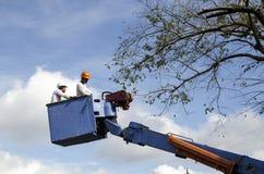 De arbeidersbesnoeiing, de gedroogde pruim en de boom van versieringsnarra vertakken zich met kettingzaag gebruikend telehandler  Royalty-vrije Stock Fotografie