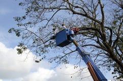 De arbeidersbesnoeiing, de gedroogde pruim en de boom van versieringsnarra vertakken zich met kettingzaag gebruikend telehandler  Royalty-vrije Stock Foto's