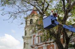 De arbeidersbesnoeiing, de gedroogde pruim en de boom van versieringsnarra vertakken zich met kettingzaag gebruikend telehandler  Stock Foto