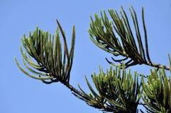 De aren van de pijnboom Stock Afbeelding