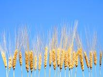De aren van de tarwe in ruw Stock Fotografie