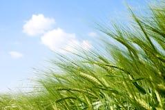 De aren van het graangewas in de zon Stock Afbeeldingen