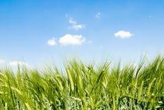 De aren van het graangewas in de zon stock foto's